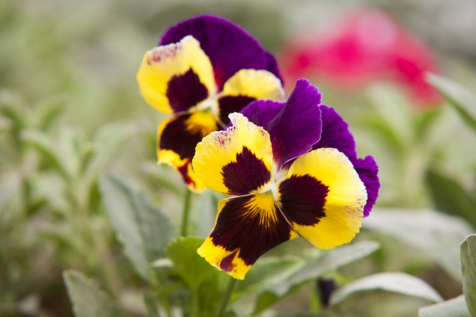 Selective Focus Photography Of Yellow Petaled Flower: Selective Focus Photography Of Yellow And Purple Petaled