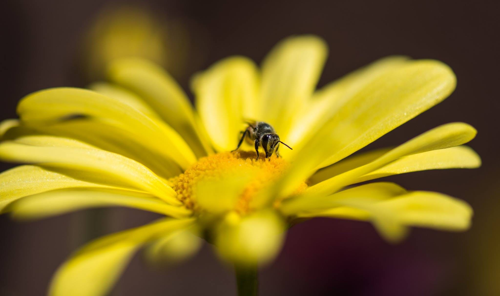 Honeybee Perched on Yellow Petaled Flower in Closeup Photo