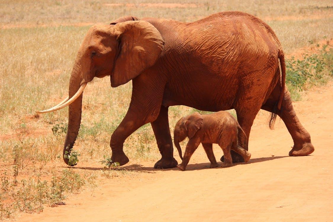 animals, animals salvatges, elefants
