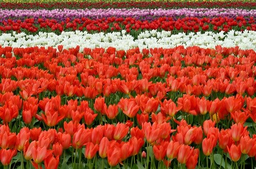 Red White and Pink Flower Fields during Daytime