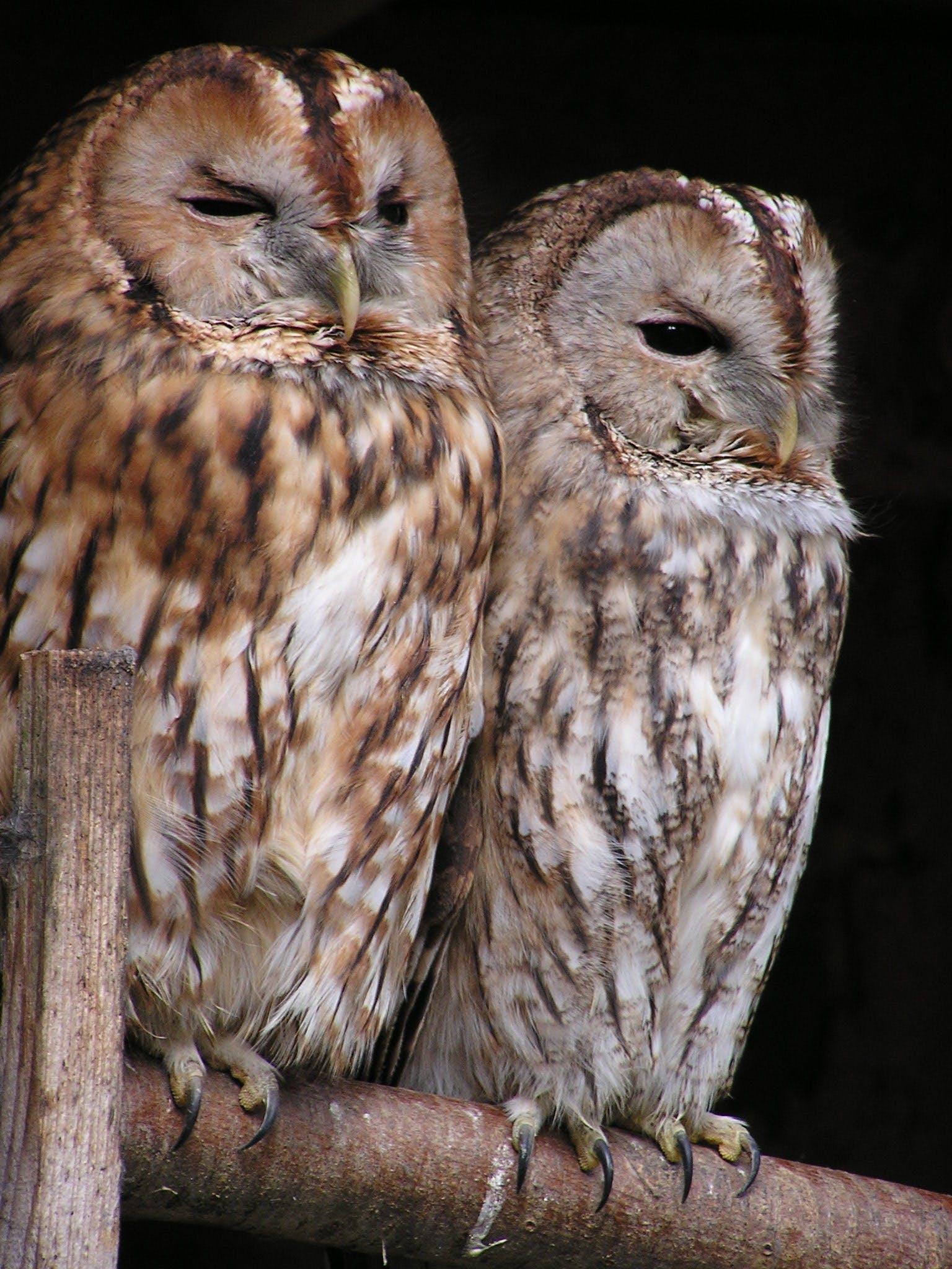 Brown White Feather Owl