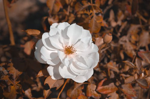 White Flower Surrounded by Brown Leaves