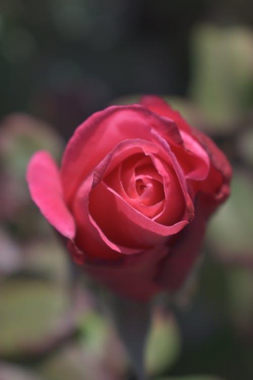 Immagine gratuita di amore, arbusto, bellissimo
