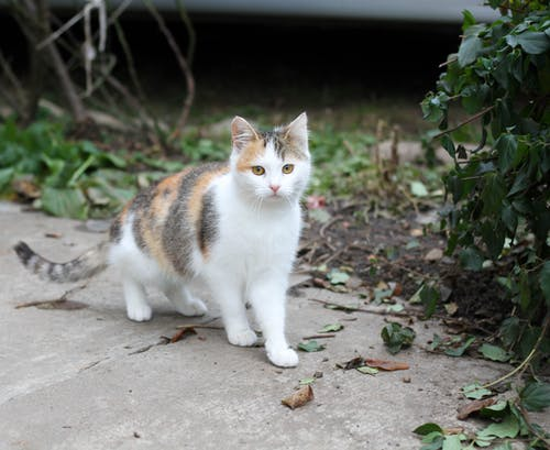 A Domestic Short-Haired Cat