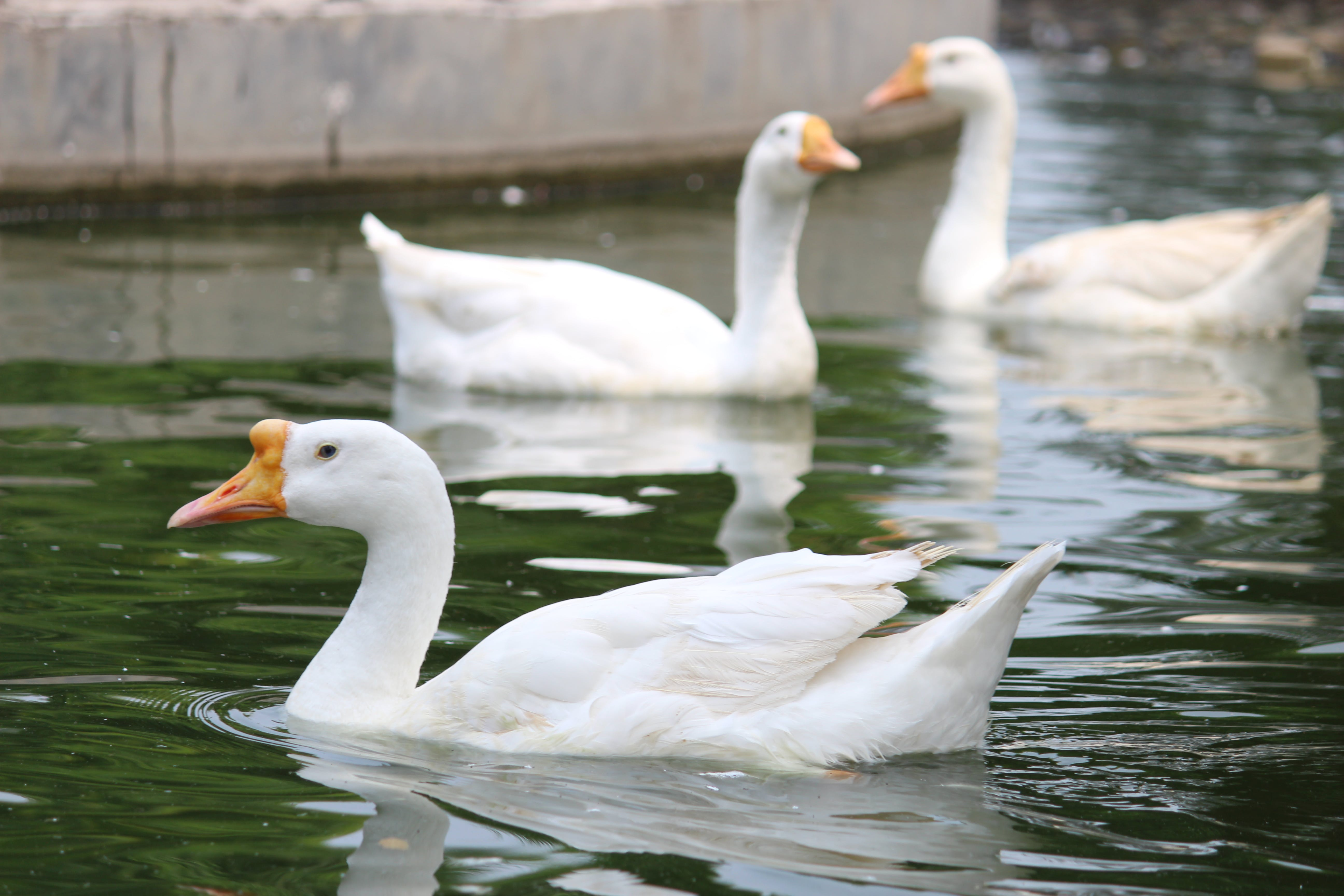 Free stock photo of geese, mother nature, nature photography, water bird