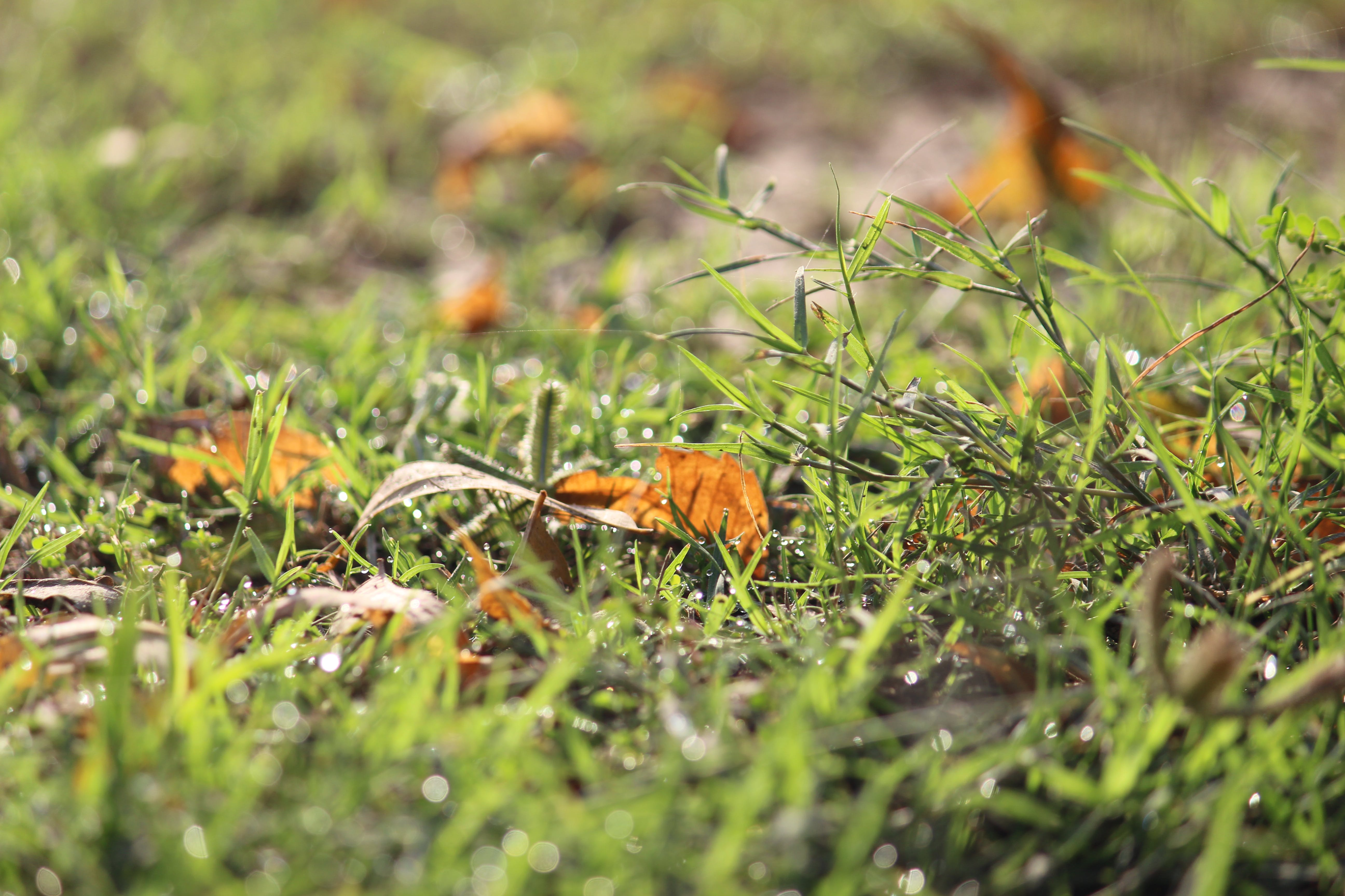 Free stock photo of dew, dewdrop, dewdrops, grass