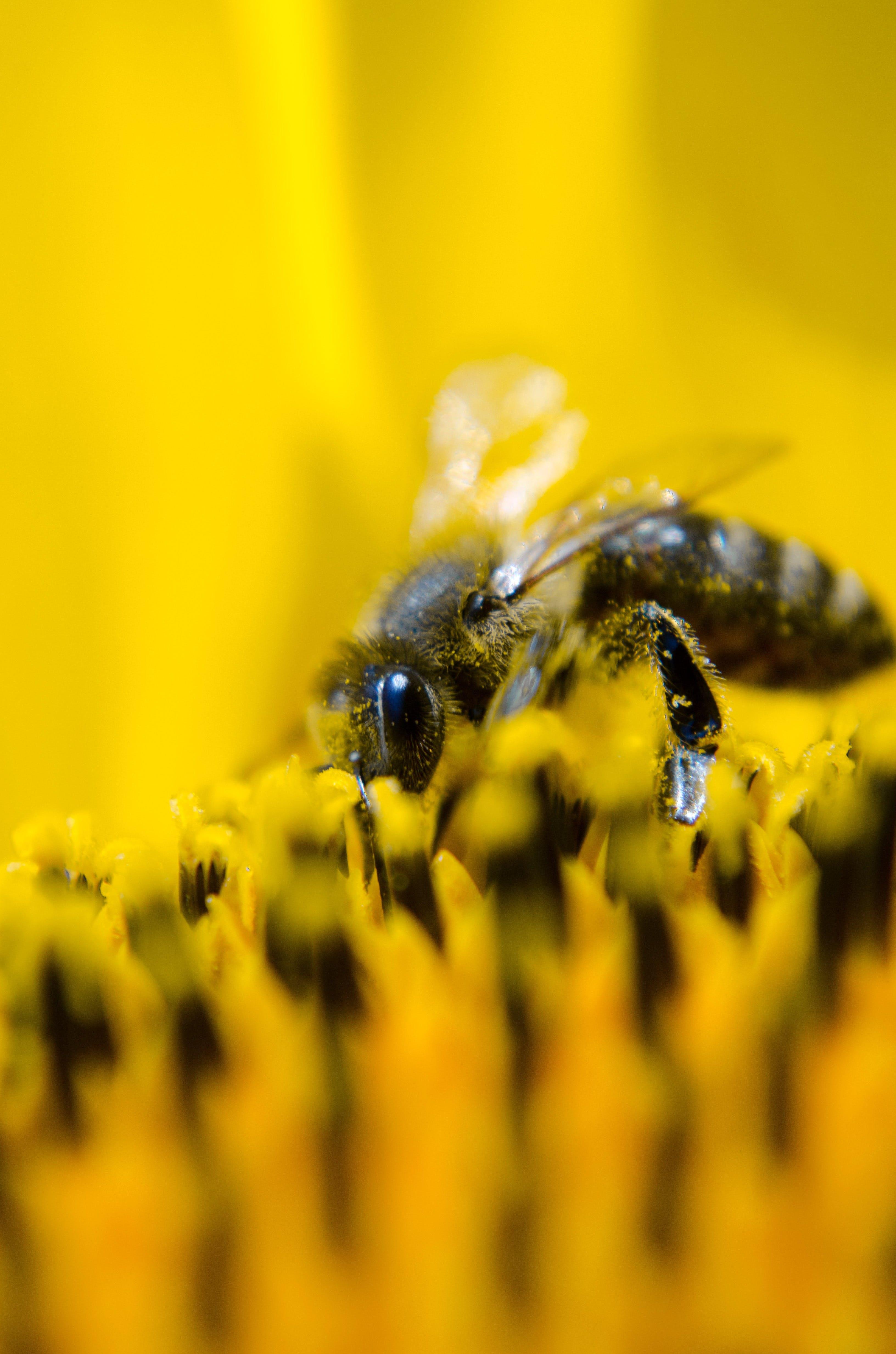 Kostenloses Stock Foto zu bestäubung, biene, honigbiene, insekt
