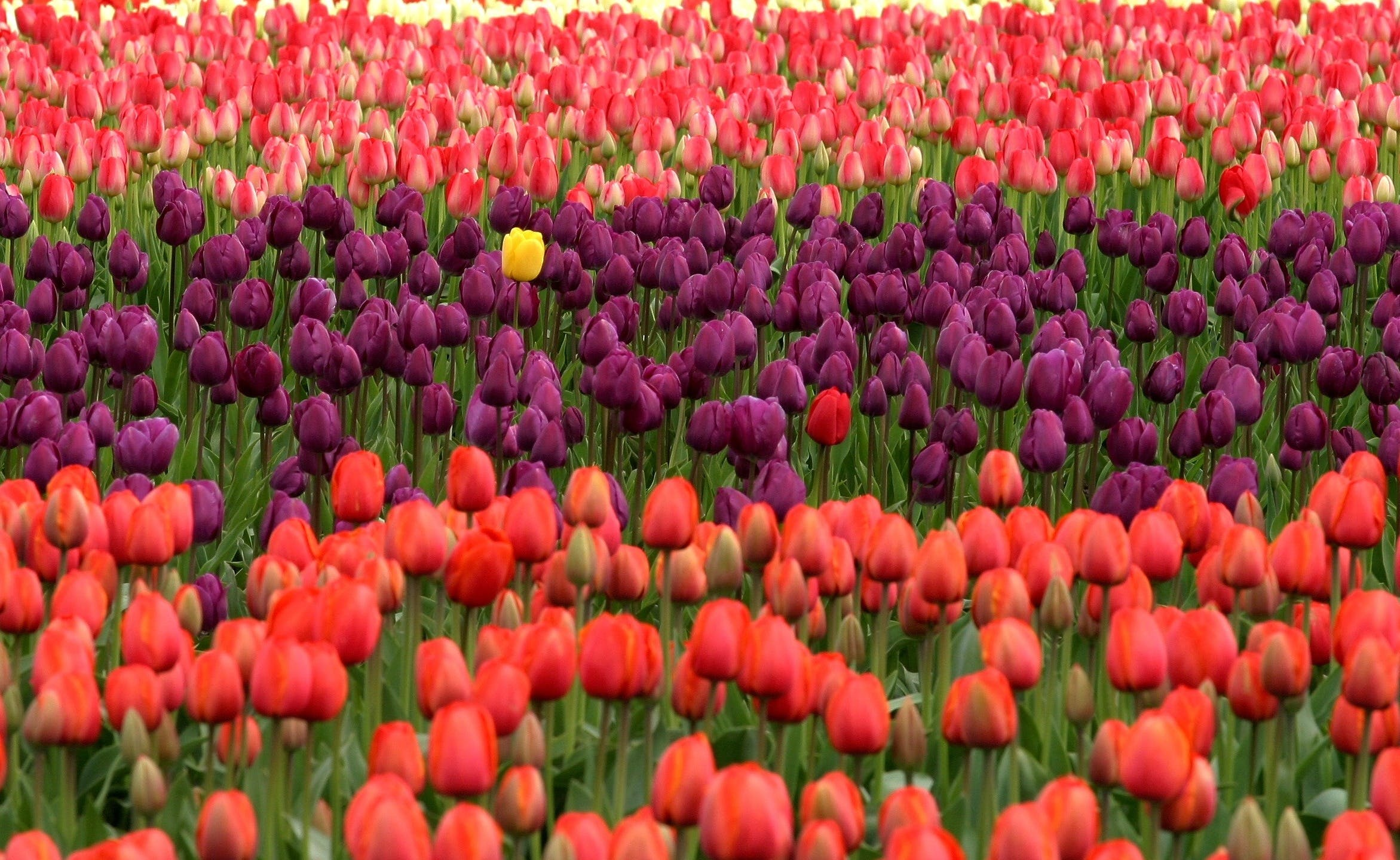Red and Purple Flower Field