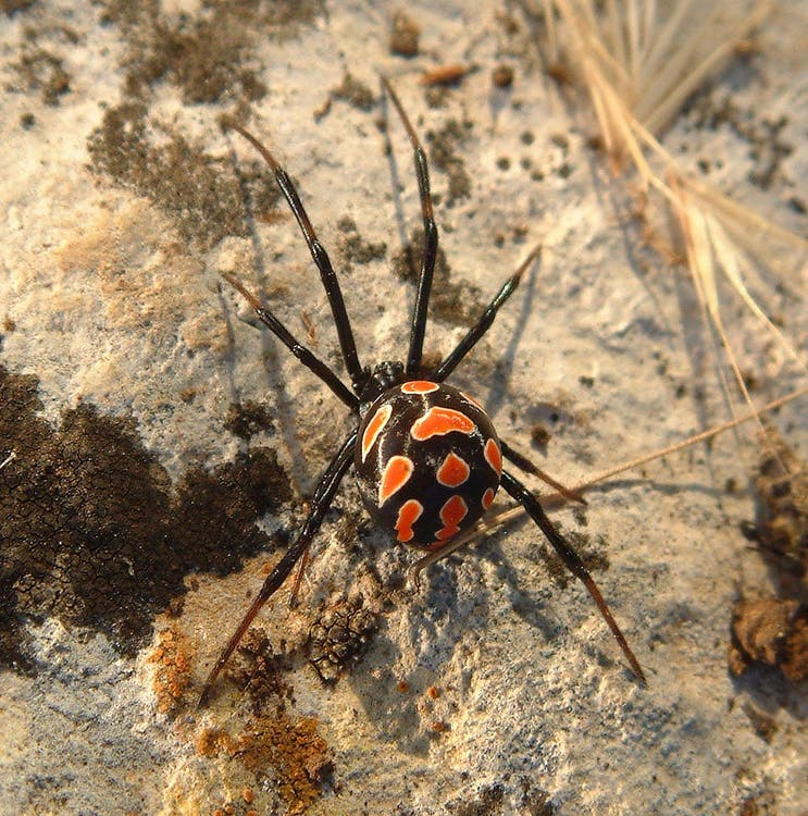 Black Widow Spider on Gray Cement Wall