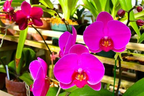 Orchidées Papillon Rose