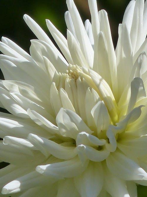 Fotobanka sbezplatnými fotkami na tému biela, dália, detailný záber, flóra