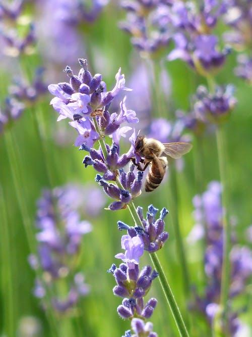 Gratis arkivbilde med anlegg, bie, insekt, lavandula