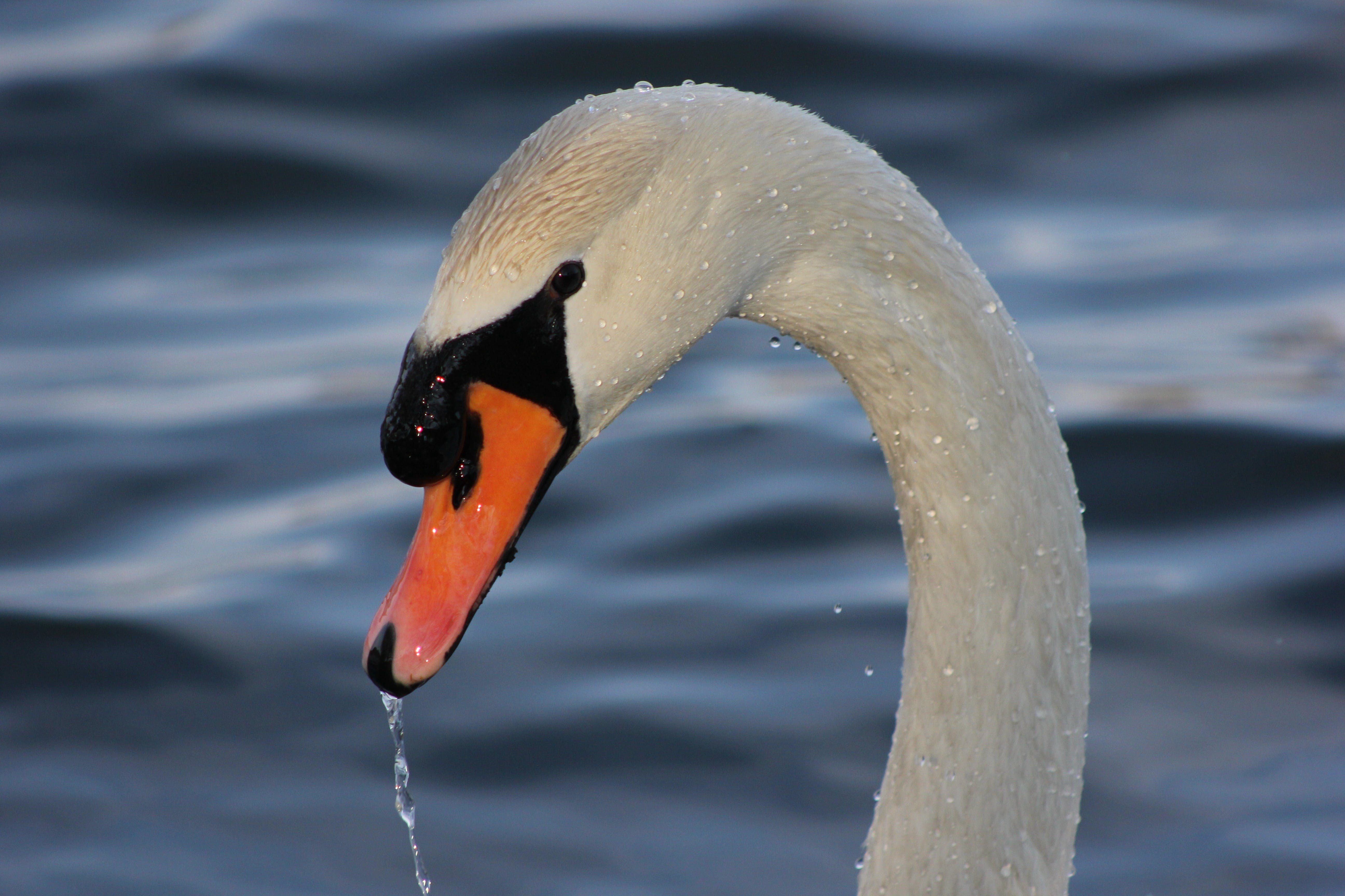 White Swan on Body on Water