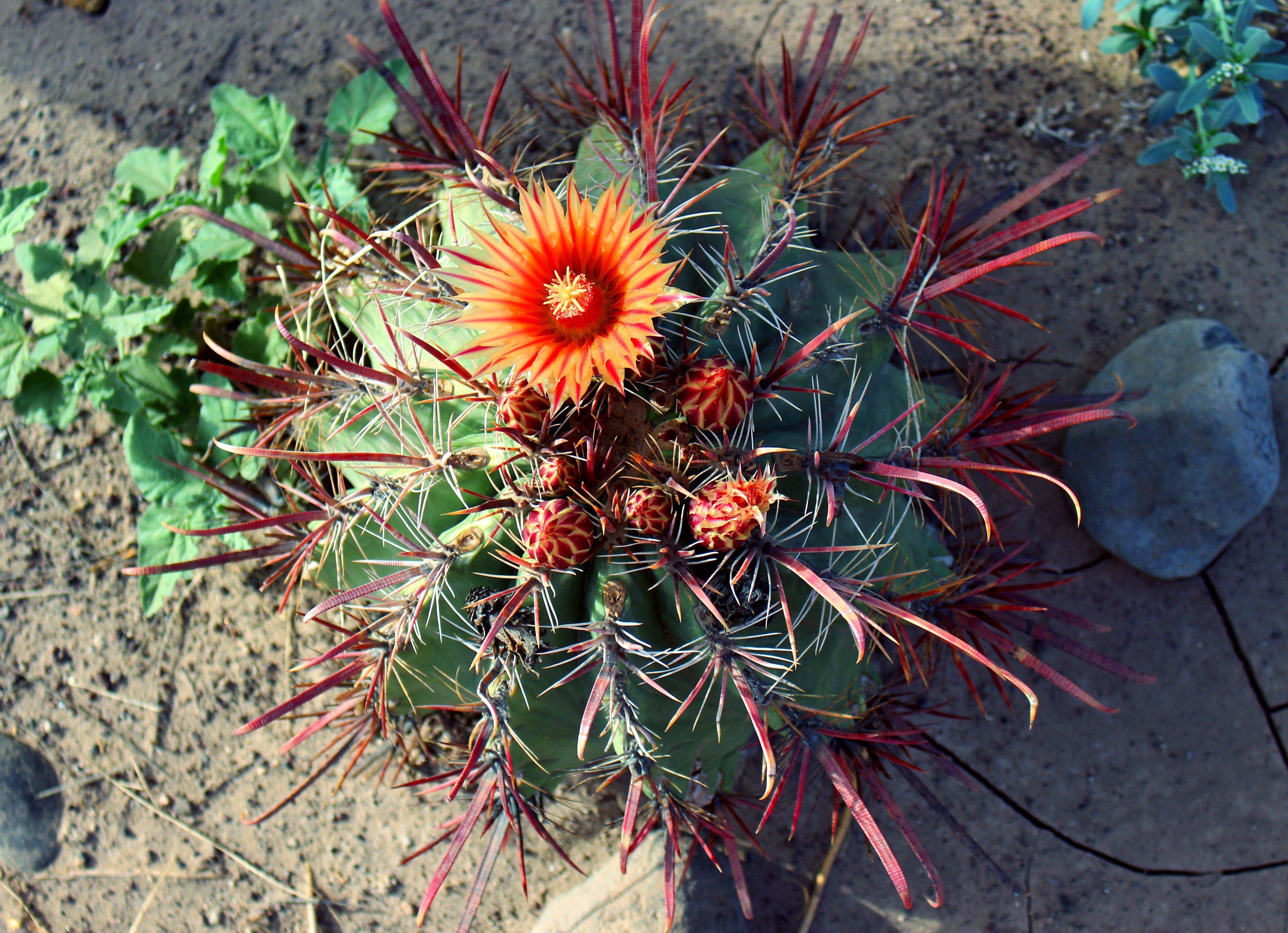 Gratis lagerfoto af appelsin, blomst, blomstrende kaktus, kaktus