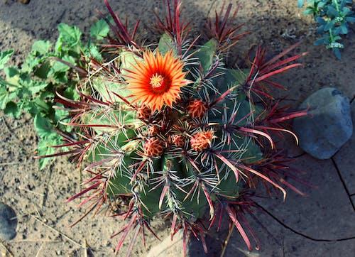 Fotobanka sbezplatnými fotkami na tému kaktus, kvet, kvitnúce kaktusy, oranžová