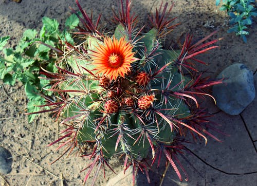 Foto d'estoc gratuïta de cactus, cactus floreixent, desert, flor