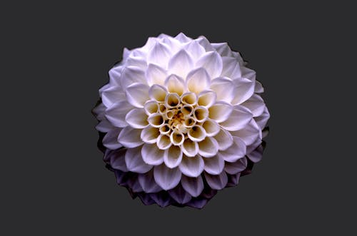 White and Purple Petaled Flower