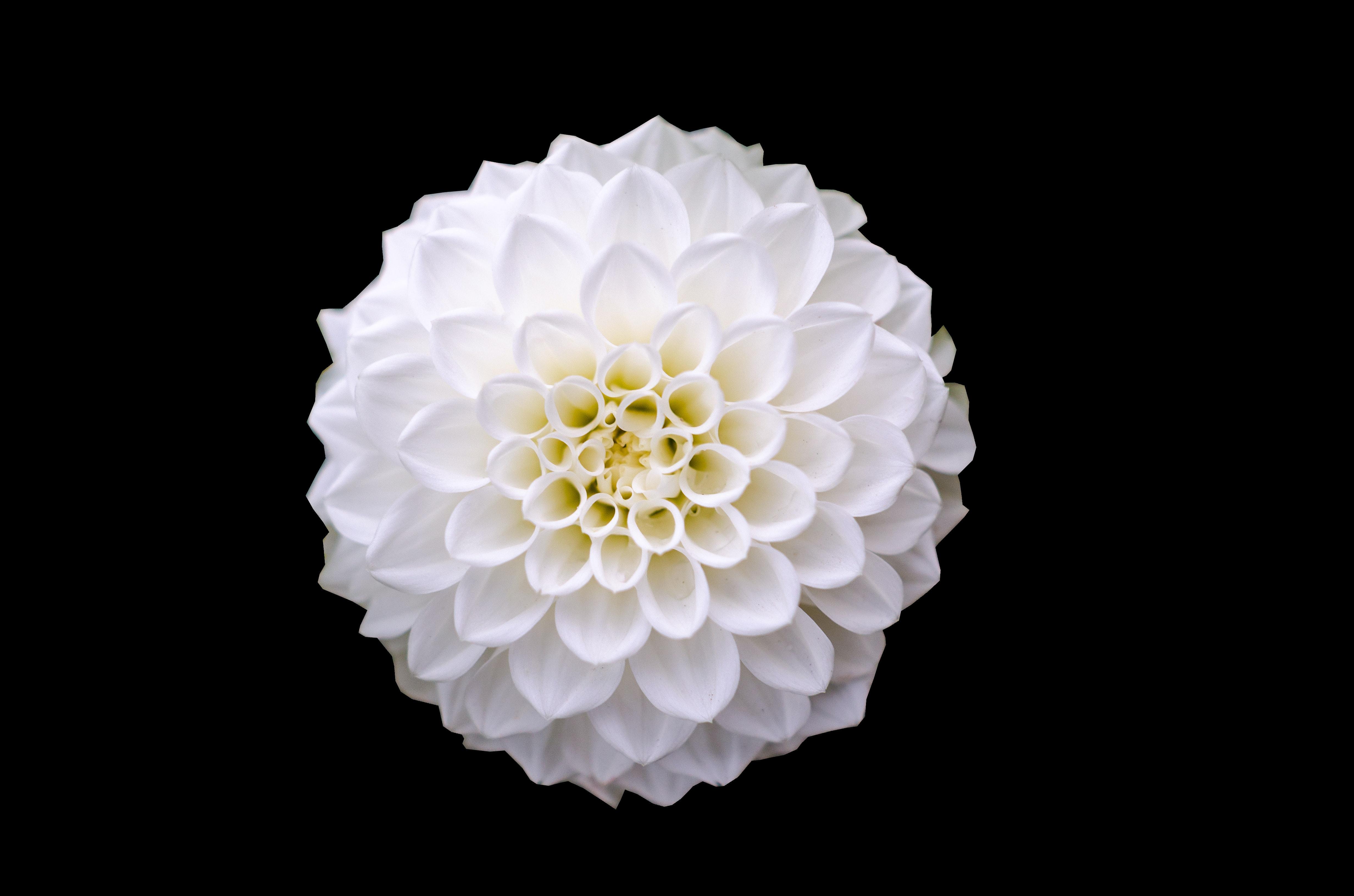 1000 Great White Flower Photos Pexels Free Stock Photos