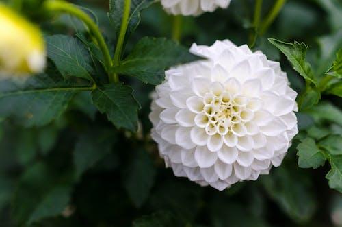 Darmowe zdjęcie z galerii z biały, dalia, flora, kolor