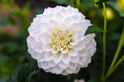 White Ball Dahlia Closeup Photography