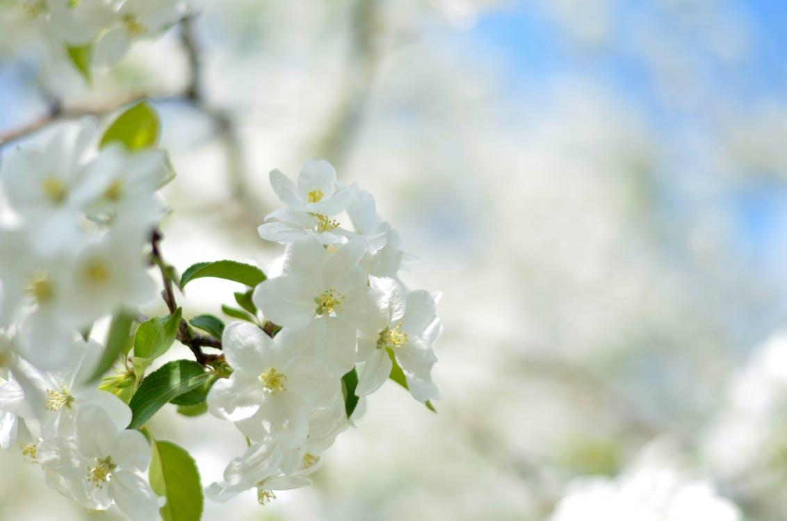 bianco, fiore di ciliegio, fiori