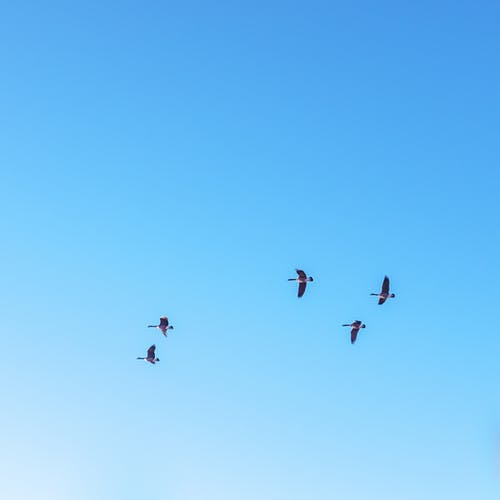From below flock of migratory birds flying in bright cloudless blue sky on sunny day