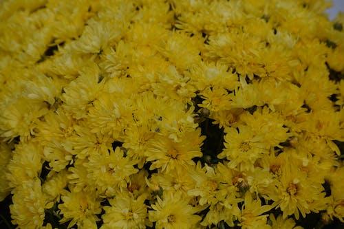 Free stock photo of flowers, yellow, yellow flowers