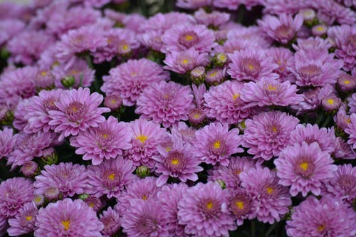 Free stock photo of flowers, violet