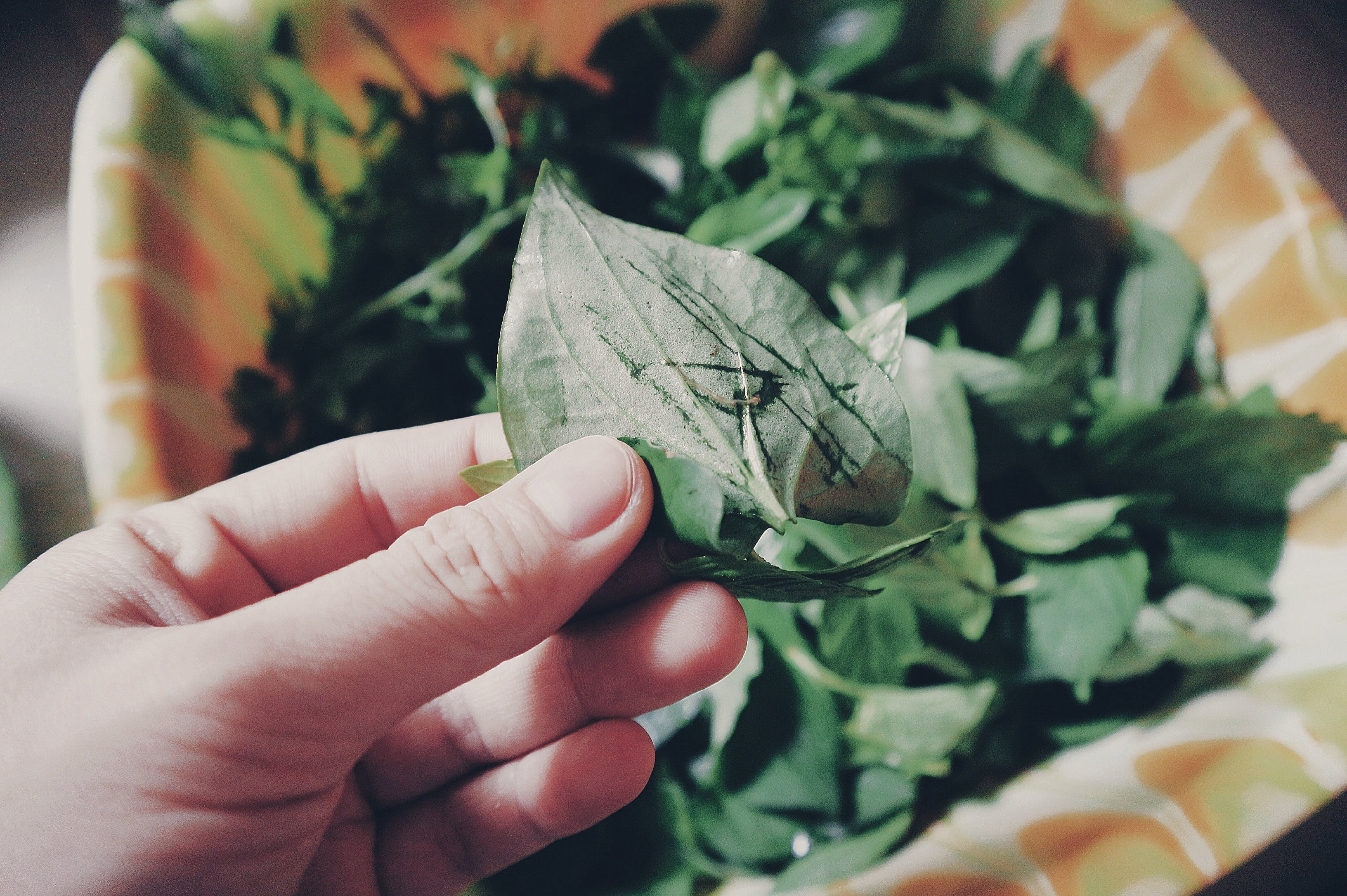 Person Holding Two Green Leaves