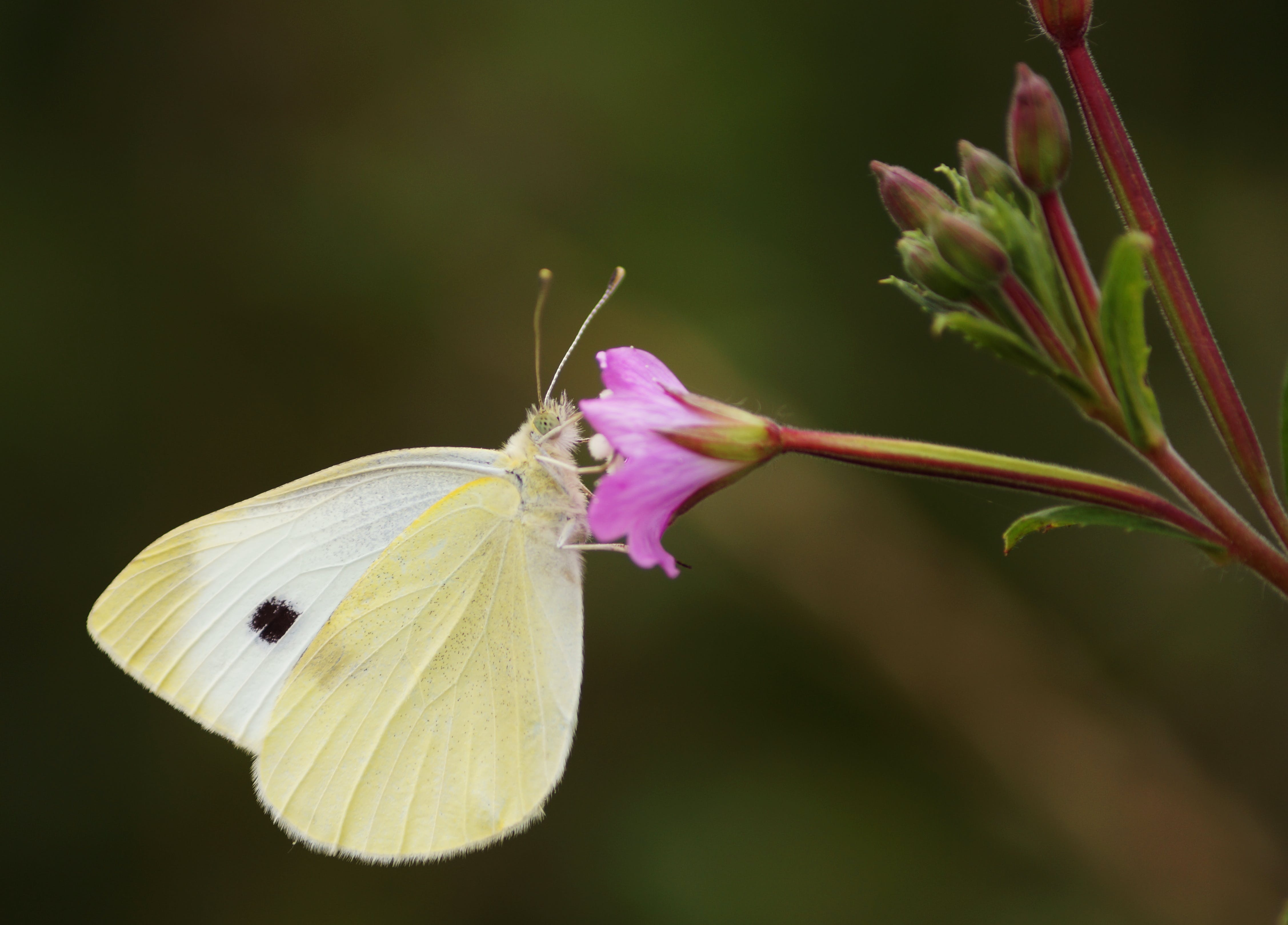 Selective Focus Photography of Cabbage White Butterfly Perching on Pink Petaled Flower