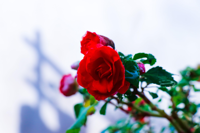 Gratis stockfoto met bloeien, bloem, bloemblaadje, bloemblaadjes