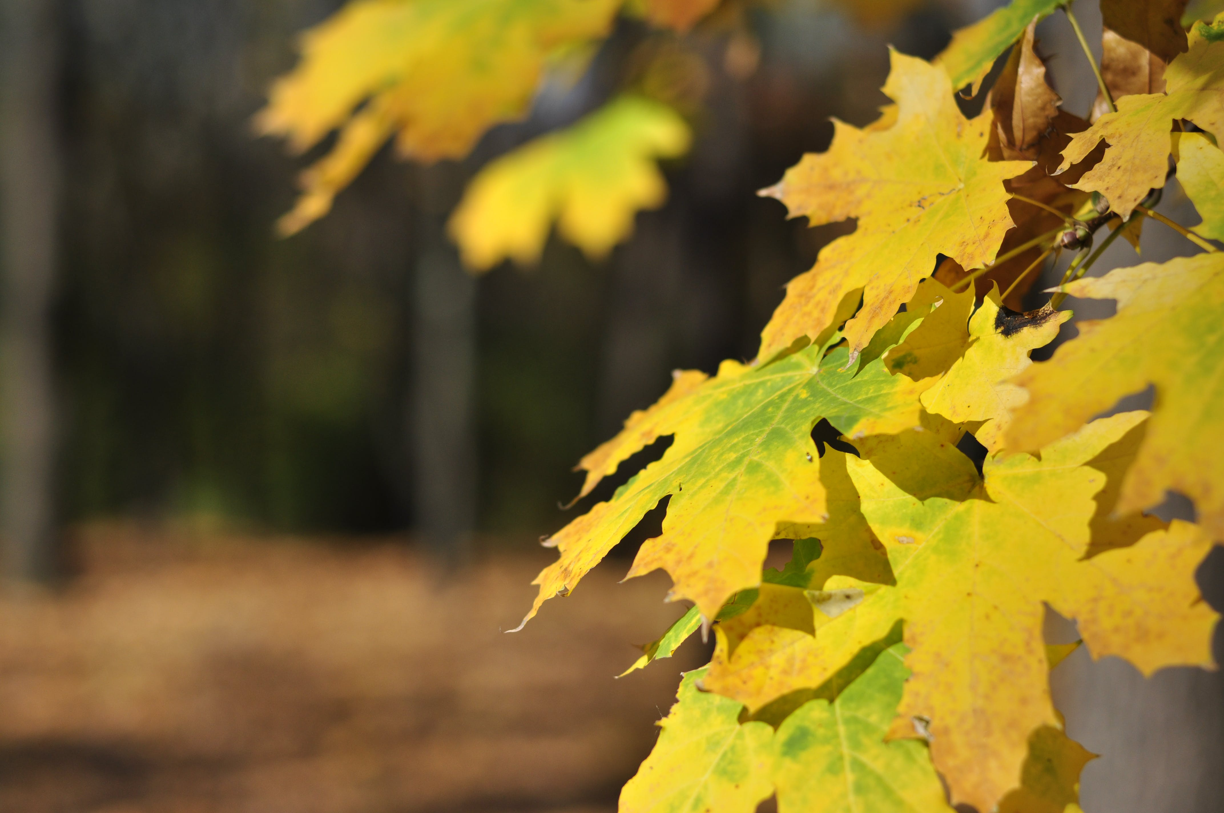 Free stock photo of autumn forest, forest, golden yellow, maple