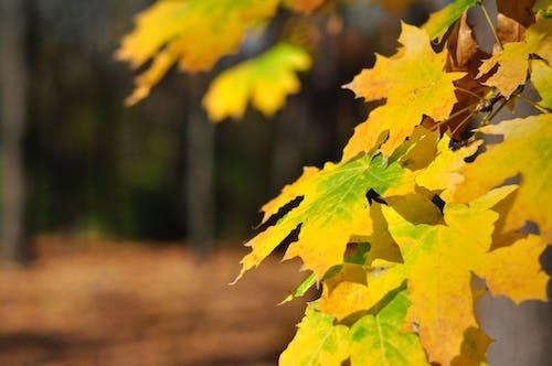 Darmowe zdjęcie z galerii z jesień las, klon, las