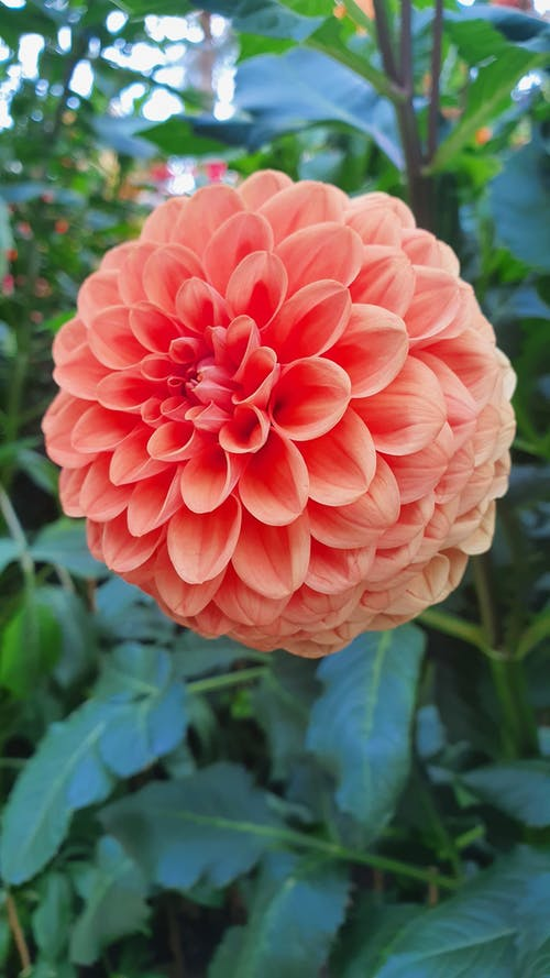 Close-Up Photo of a Pink Dahlia in Bloom