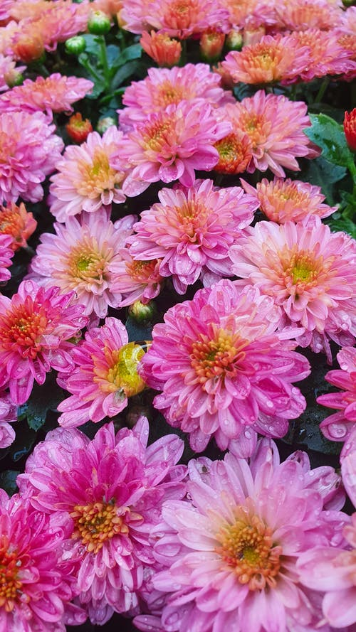 Close-Up Photo of Pink Aster Flowers with Water Droplets