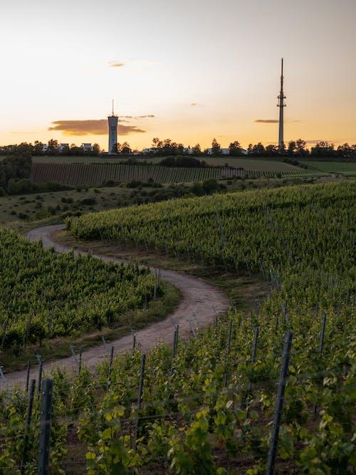 Green Vineyard During Sunset