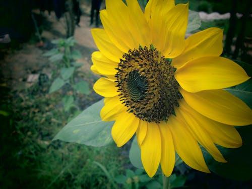 Free stock photo of beautiful flowers, sunflower