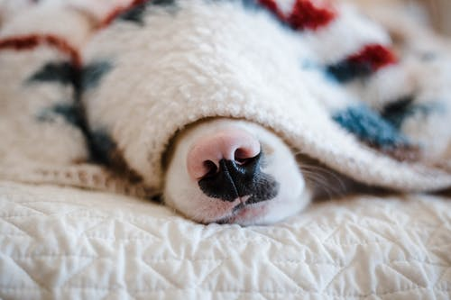 Muzzle of cute purebred dog lying on comfortable bed and hiding under warm plaid