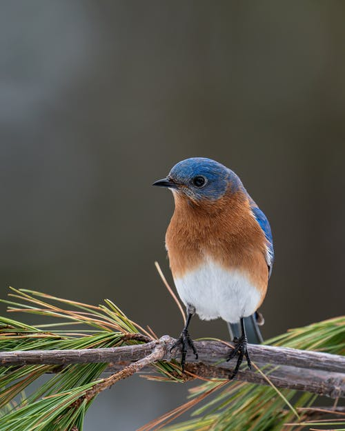 Closeup of small colorful male specie of Sialia sialis bird resting on pine tree branch
