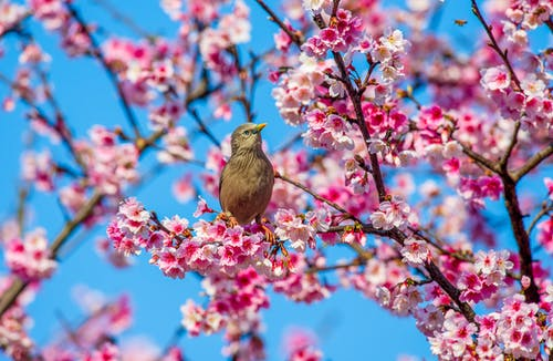 Selective Focus Photo of a Bird Perched on a Twig with Cherry Blossoms