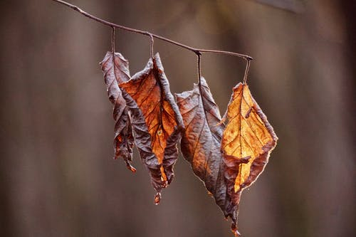 Dried Autumn Leaves Hanging on a Twig