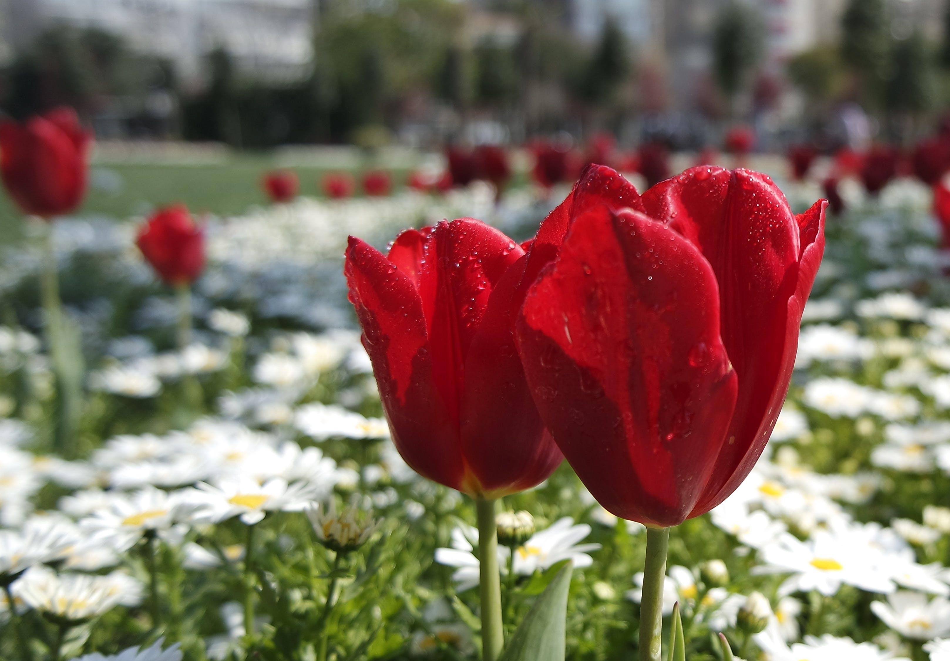 botanika, červená, farba