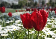 nature, red, flowers