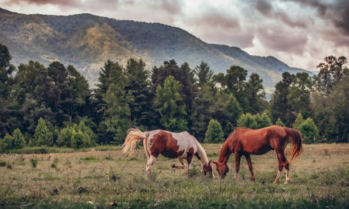 Two Horses Grazing on Grass Field