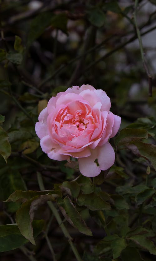 Close-Up Photo of a Blooming Pink Rose