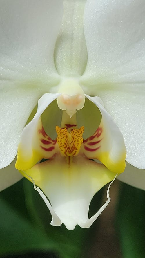 Macro Photography of a Blooming Moth Orchid