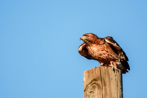Attentive wild predatory bird with brown plumage sitting on wooden pole against clear blue sky in nature on sunny summer day