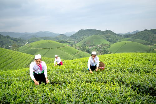 Female workers with wicker baskets picking tea leaves from shrubs while working in agricultural tea field in overcast day