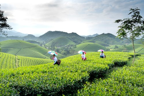 Female farmers with baskets and umbrellas harvesting tea leaves in green agricultural plantation in hilly area