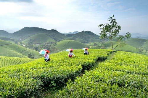 Female workers with umbrellas and baskets collecting tea leaves during harvest season in hilly terrain
